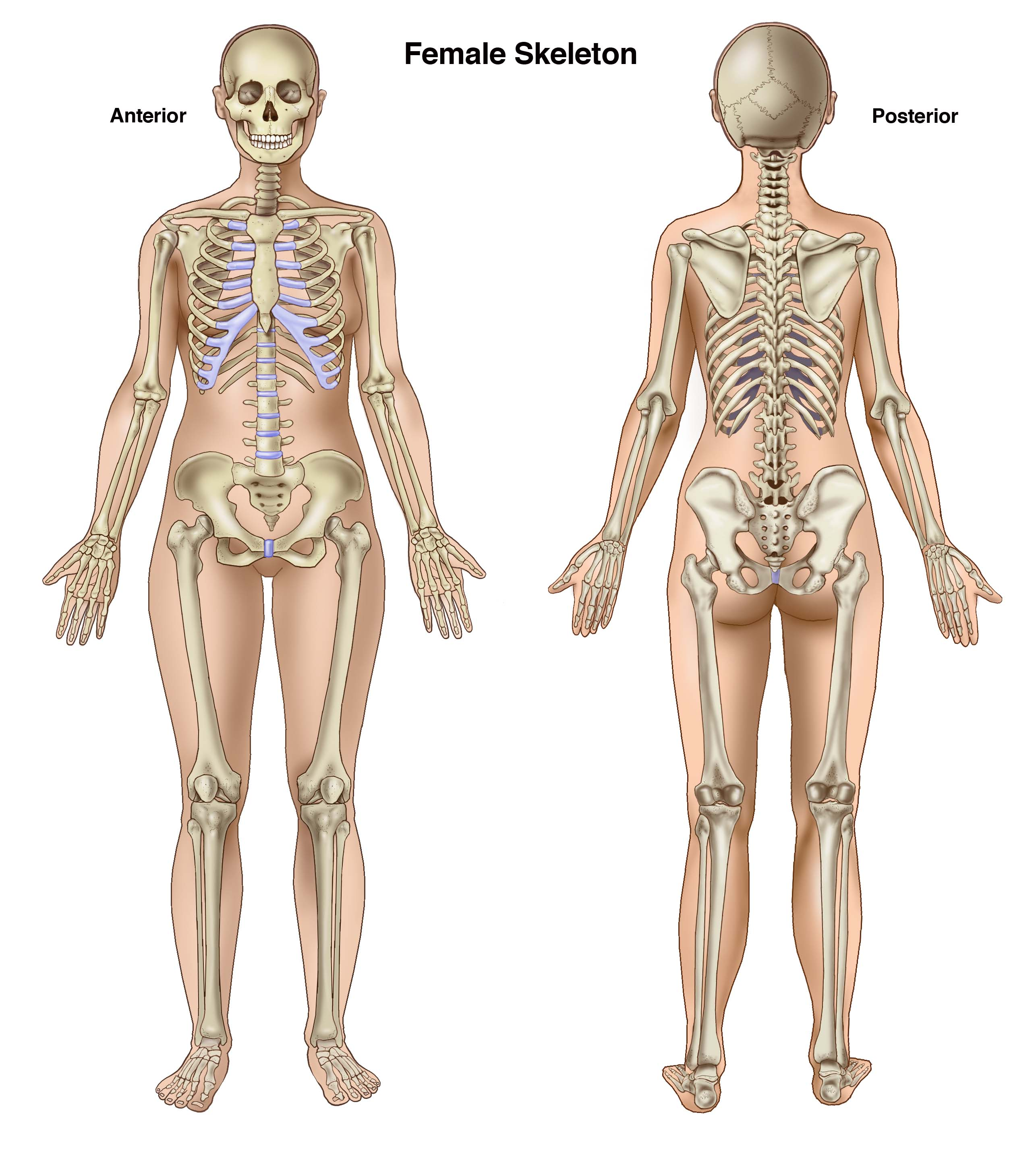 Basic Anatomy For Trial Lawyers The Human Skeleton Compel Visuals